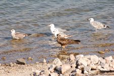Free Birds On The Coast Royalty Free Stock Photo - 7700345