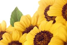 Free Sunflower Royalty Free Stock Photo - 7700975