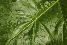 Free Leaf With Raindrops  2 Stock Image - 7701171