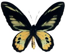 Free Ornithoptera Rothschildi Stock Image - 7701421