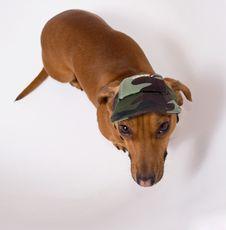 Dachshund In Peaked Cap Stock Photo