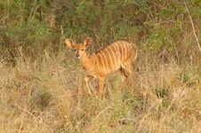 Nyala (Tragelaphus Angasii) Royalty Free Stock Image