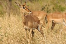 Free Impala Female (Aepyceros Melampus) Royalty Free Stock Images - 7702329