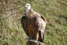 Free Vulture Royalty Free Stock Image - 7702366