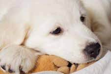 Sad Retriever Puppy Royalty Free Stock Photos