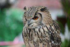 Free Owl Royalty Free Stock Photo - 7703205