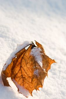 Free Red Leaf And Snow Royalty Free Stock Images - 7703379
