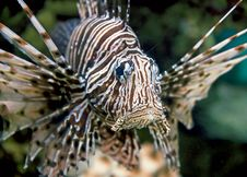 Free Lion Fish 9 Stock Images - 7703384