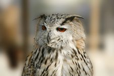 Free Owl Royalty Free Stock Image - 7703626