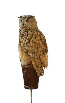 Free Owl Stock Image - 7703631