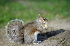 Free Squirrel With A Nut Stock Photos - 7703633