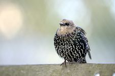 Starling On A Pole Stock Images