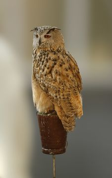 Free Falcon Stock Photography - 7703652