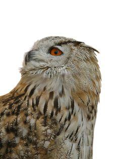 Free Owl Stock Photo - 7703660