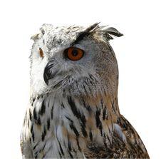 Free Owl Stock Photo - 7703730