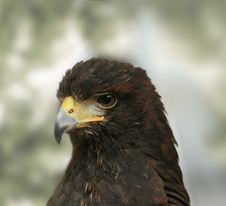 Free Eagle Royalty Free Stock Images - 7703869