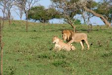 Free Lion Pair Royalty Free Stock Image - 7703996