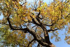Free Autumn Tree 3 Royalty Free Stock Images - 7704249
