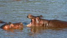 Free Hippo Fight Royalty Free Stock Image - 7704886