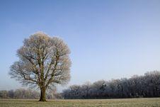 Free Winter Oak Stock Photo - 7705900