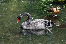 Free Black Swan Royalty Free Stock Photo - 7706485