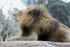 Free Lion Profile Royalty Free Stock Photography - 7706627