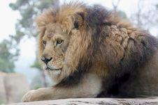 Free Lion Royalty Free Stock Photos - 7706658