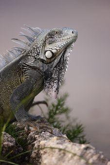 Green Iguana (Iguana Iguana) Royalty Free Stock Image