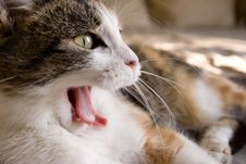 Free A Yawning Cat Stock Photos - 7707263