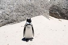Free Jackass Penguin Royalty Free Stock Photos - 7707368