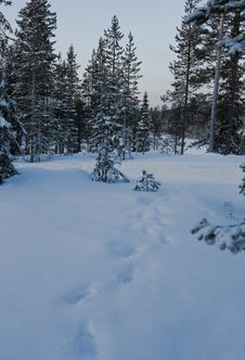 Free Snow Forest Royalty Free Stock Photography - 7707507