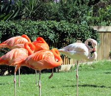 Free Flamingos Stock Image - 7707961