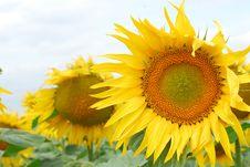 Free Sunflower Stock Photo - 7708240