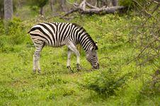 Free Burchell S Zebra Stock Image - 7708501