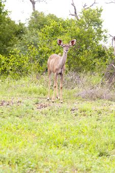 Free Female Kudu Stock Images - 7708504