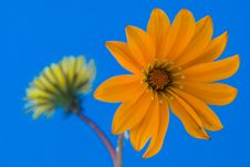 Free Orange Flower Composition On Blue Background Stock Image - 7708541