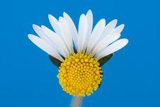 Free Broken White Daisy Royalty Free Stock Photos - 7708548