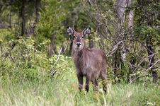 Free Young Male Waterbuck Royalty Free Stock Images - 7708559