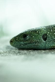 Lizard Head Royalty Free Stock Image