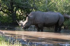 Free Rhino In Kruger Park Royalty Free Stock Photo - 7708605