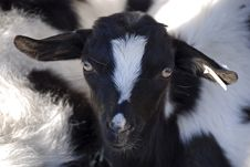 Free Pretty Goat Face Stock Images - 7708624
