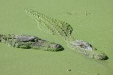 Free Alligator Royalty Free Stock Images - 7708659