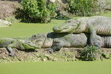 Free Alligator Stock Images - 7708704