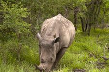 Free Rhino In Kruger Park Stock Photo - 7709120