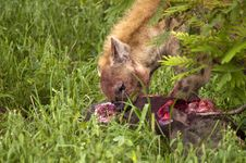 Free Hungry Hyenas Royalty Free Stock Image - 7709136