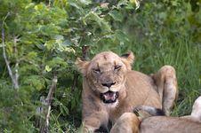 Free Lion Family Eating Their Prey Royalty Free Stock Photo - 7709165
