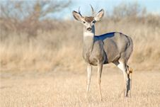 Free Mule Deer Stock Photography - 7709512