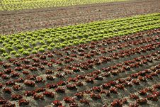 Red Little Baby Lettuce, Fields From Spain Stock Photo