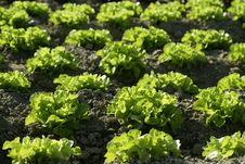 Green Lettuce Country In Spain Stock Images