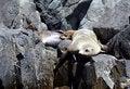 Free Australian Fur Seals, Tasmania, Australia Royalty Free Stock Image - 7710456